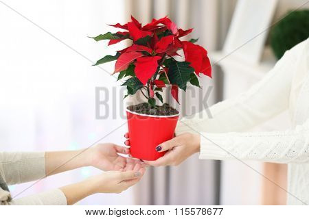 Female hands with Christmas flower poinsettia, on light background