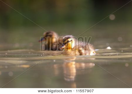 Two Ducklings Swimming on a Pond