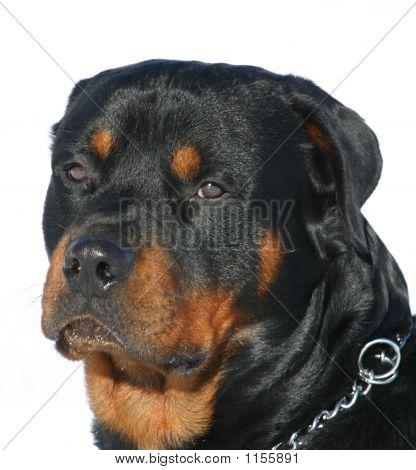 Cabeça de Rottweiler