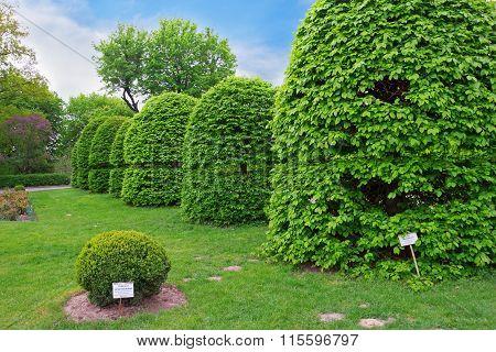Shaped Hornbeam Trees