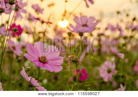 Cosmos Flower In The Field With Sunrise Background