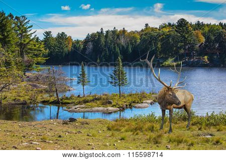 Red deer with branchy horns at the lake. Small  lake in the autumn park