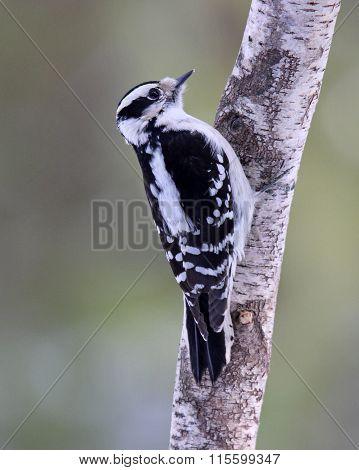 Perching Woodpecker