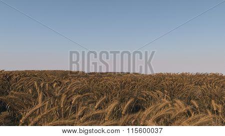 ripen wheat field