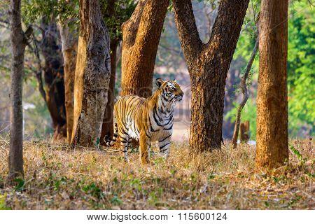 Tiger the bigest cat in India.