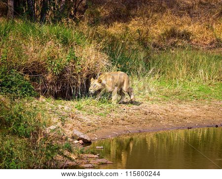 Asiatic Lion, an endagered species endemic to India.
