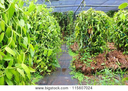 The Vanilla plantation. Reunion Island, agriculture in tropical climate.