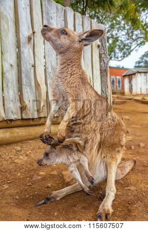 Hobart surrounding area, Tasmania, Australia - January 8, 2015: Red female kangaroo, Macropus rufus, with a baby in her pocket. Bonorong Wildlife Sanctuary