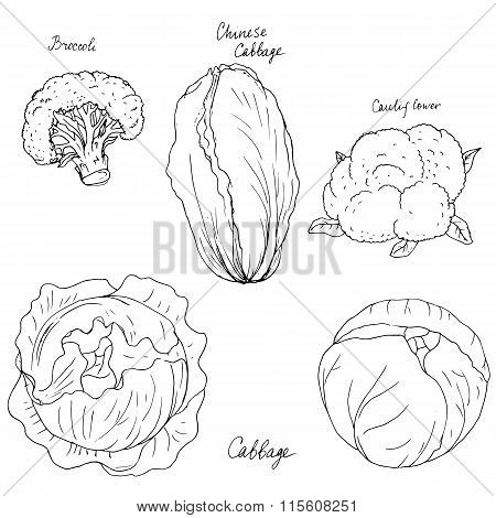 hand drawn different kind of cabbage