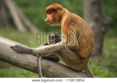 Female Proboscis Monkey With Juvenile  - Sandakan, Borneo, Malaysia