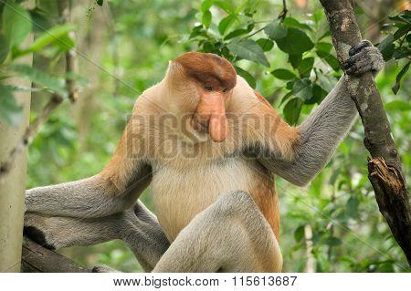 Proboscis Monkey - Sandakan, Borneo, Malaysia