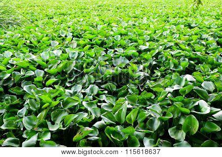 Water Hyacinth Many Weeds