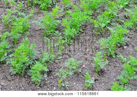 Carrots Sprouts On Bed As A Background