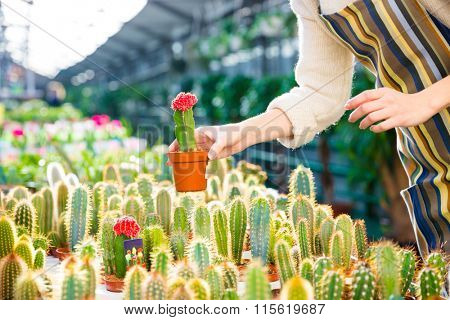 Close up of small cactus holded by hands of woman gardener in colorful apron in greenhouse