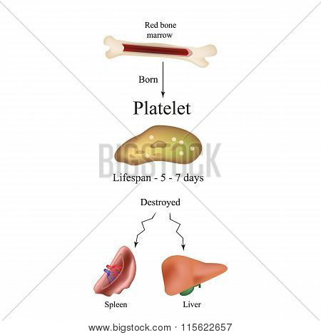 Limbo platelets in the bone marrow. Dieback of platelets in the spleen, the liver. The life of the p