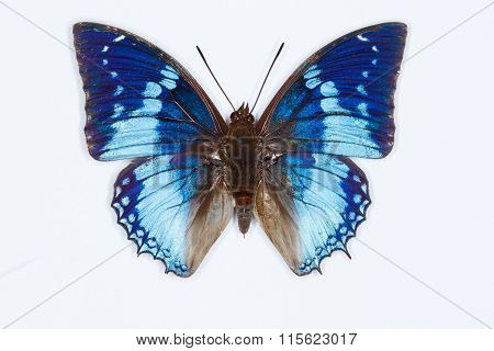 Western Blue Charaxes Butterfly, On White