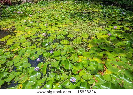 Blooming Nymphaeaceae water lilies on shallow pond