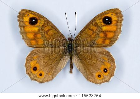 Wall Brown, Lasiommata Megera,  Butterfly On White