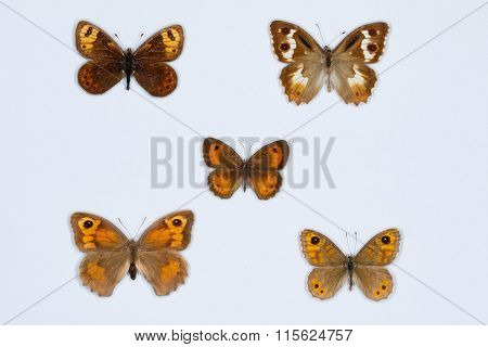 Collection Of  Brown Butterflies On White