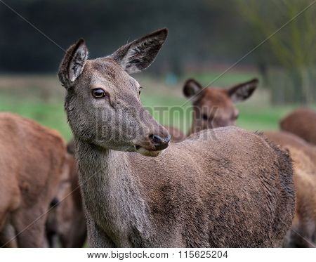 Red deer hind.