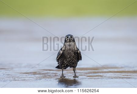 Crow Corvus corone on ice in the Winter