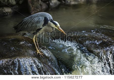 Grey Heron ardea cinerea sitting on the edge of a waterfall
