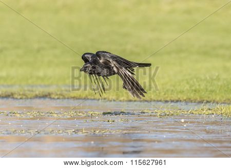 Crow Corvus corone flying on the ice in the Winter