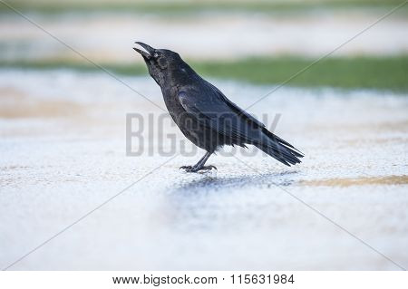 Crow Corvus corone on the ice squawking