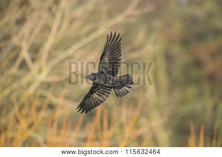 Crow Corvus corone flying in front of some trees