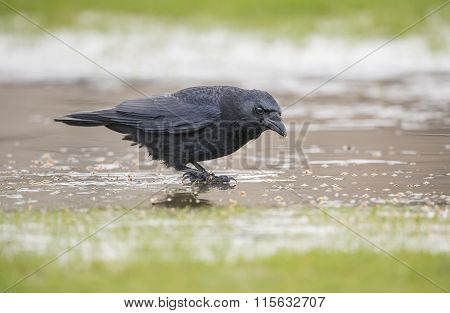 Crow Corvus corone standing on the ice