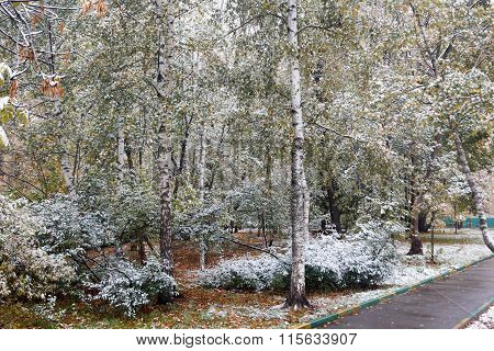 Green Trees In The Yard Under First Snow