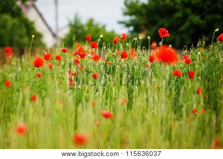 Red Poppy Field In Summer Daylight