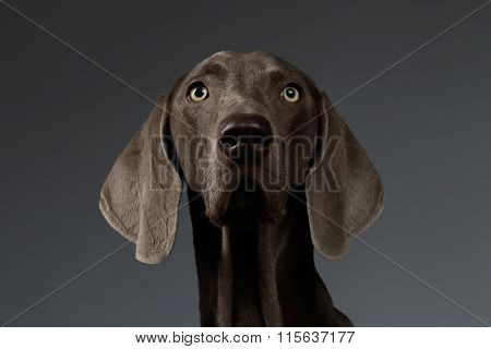 Close-up Portrait Of Weimaraner Dog Looking In Camera, White Gradient