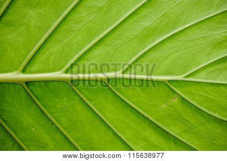 Big Green Leaf Texture Horisontal
