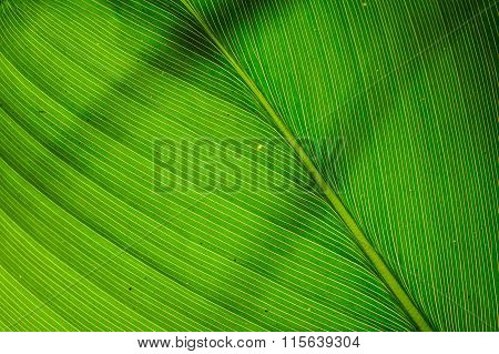 Texture Of  Green Leaf As Background