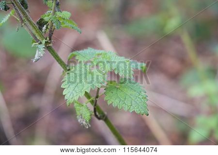 nettle plant growing wild in woodland
