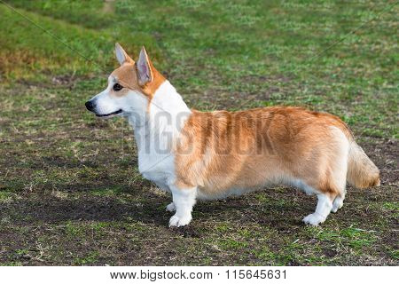 Cardigan Welsh corgi profile.