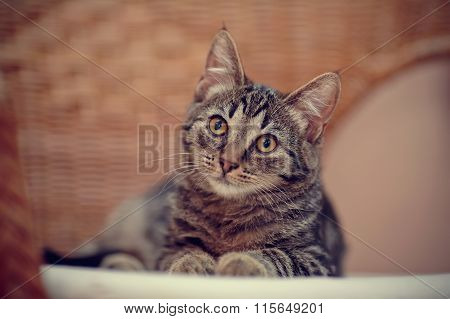 Portrait Of A Striped Kitten On A Wicker Chair
