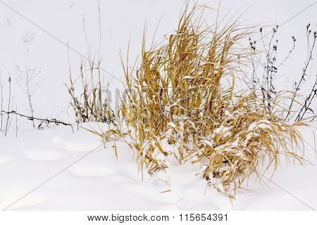 Old Hummock Grass On Snow Of Natural Color Closeup