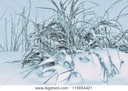 Old Hummock Grass On Snow Of Monochrome Tone Closeup