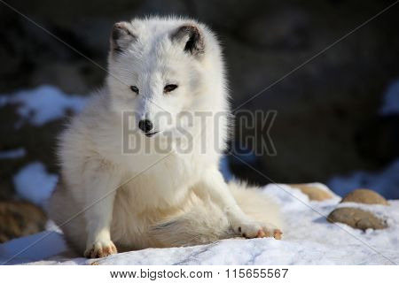 Arctic Fox Playing in Snow