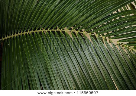 Close Up View Of Green Coconut Palm Leaf