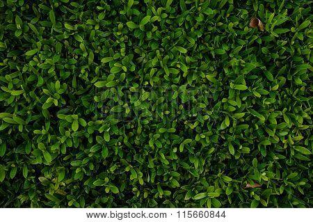 Rubiaceae Leaf Ixora Chinensis Lamk