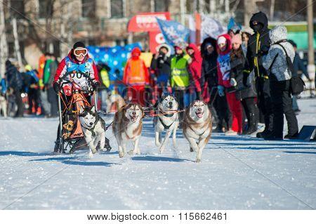 dog sledding with husky