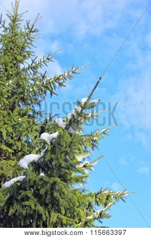 The Branch Of Spruce In The Snow