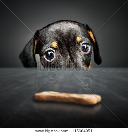Dachshund puppy looking at a treat (out of reach) over a table