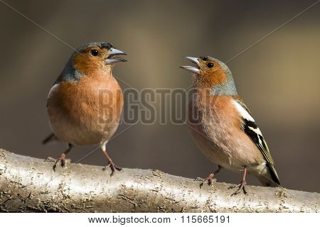 two Chaffinch sing a duet on a branch