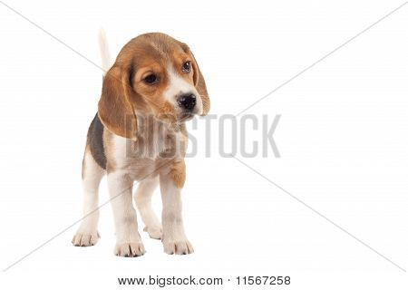 beagle standing on a white background