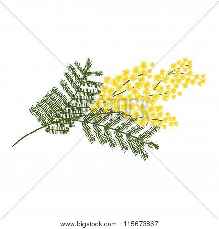 Sprig of mimosa flower