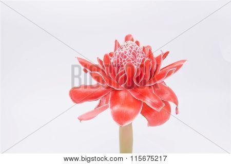 Red Flower Of Torch Ginger, Etlingera Elatior Family Zingiberaceae On White Background
